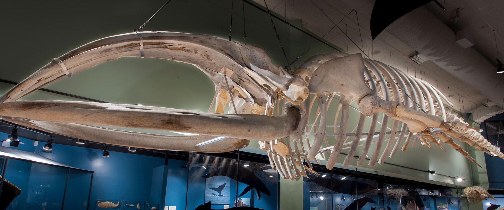 Whale-Display-New-Brunswick-Musem